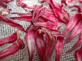 Drying red hibiscus flowers for tinctures