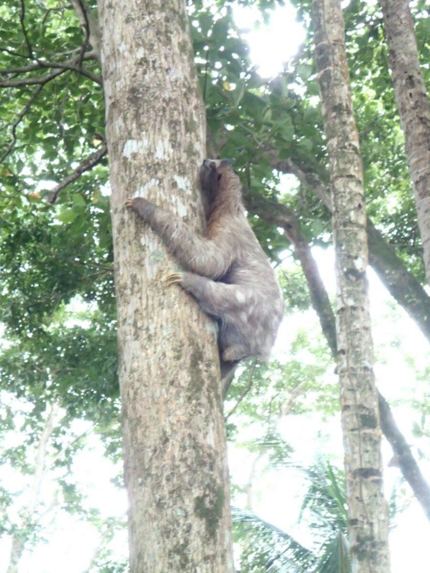 My first sloth - in the wild, near the beach walk