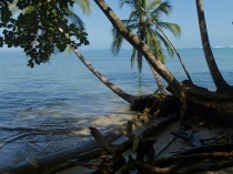 Cahuita - almost fallen trees