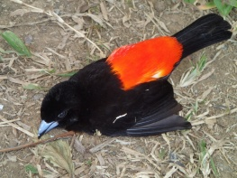 My favourite local bird died. Camera not good enough to capture him alive, sad to see but glad I got this image of him