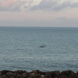 Dolphins off the coast at Cascais